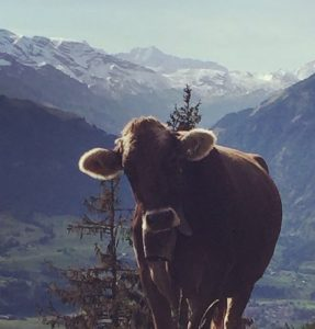 Image of a curious cow
