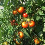 image of ripe tomatoes on the vine